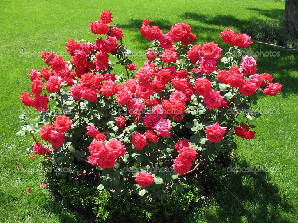 Shrub clipart rose plant Clipart Raccoon  rose pics