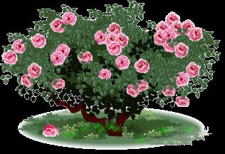 Shrub clipart rose plant Clip Clip Art – Art