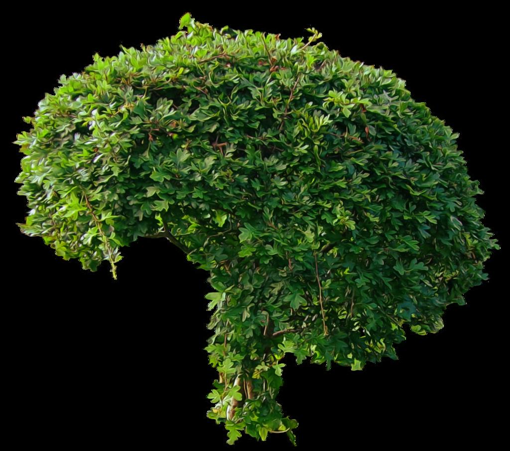Rose Bush clipart shrub plan #14