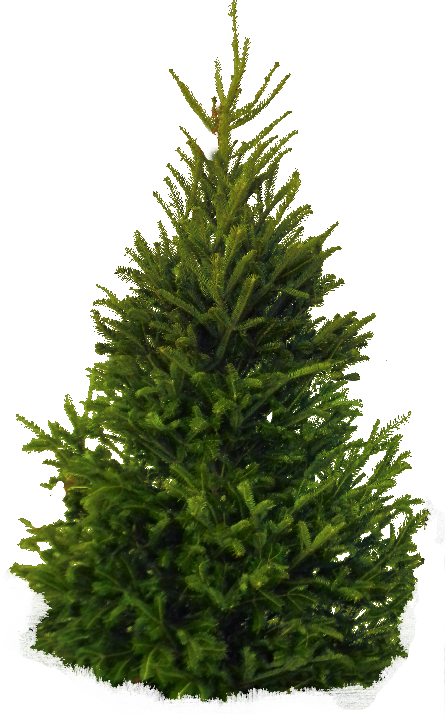 Pine Tree clipart cypress tree Tree png Tree image download