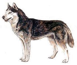 Siberian Husky clipart #5