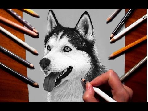 Drawn animal husky #9
