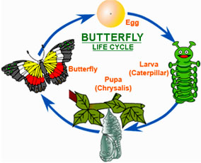 Silk clipart butterfly larva  Cocoon Butterfly Articles Cocoon