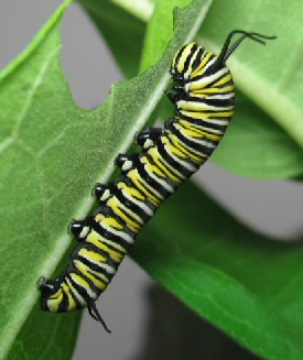 Silk clipart butterfly larva And Metamorphosis Complete change: growth