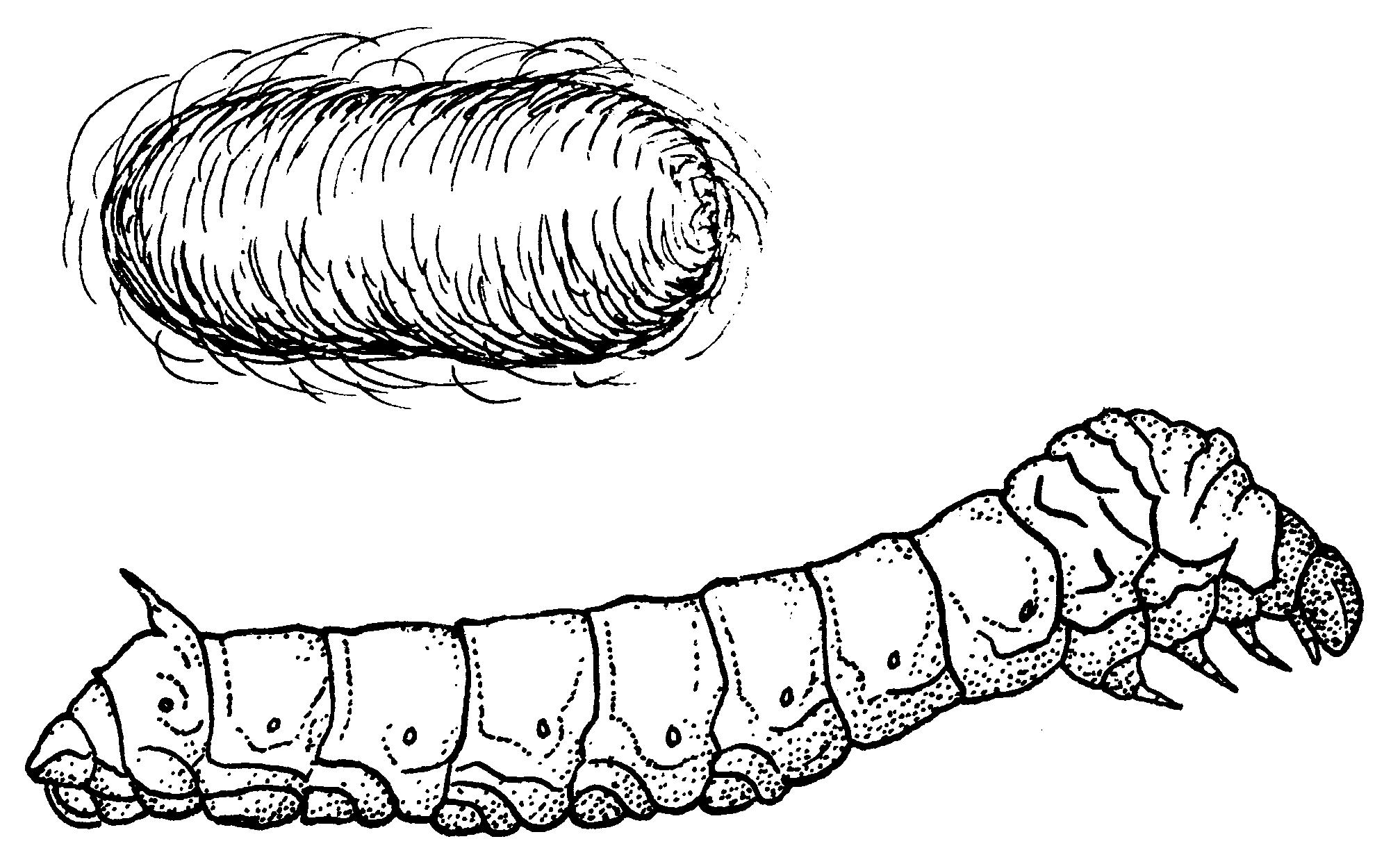Silk Moth clipart Silkworm Masteri Moth (PSF) File:Silkworm