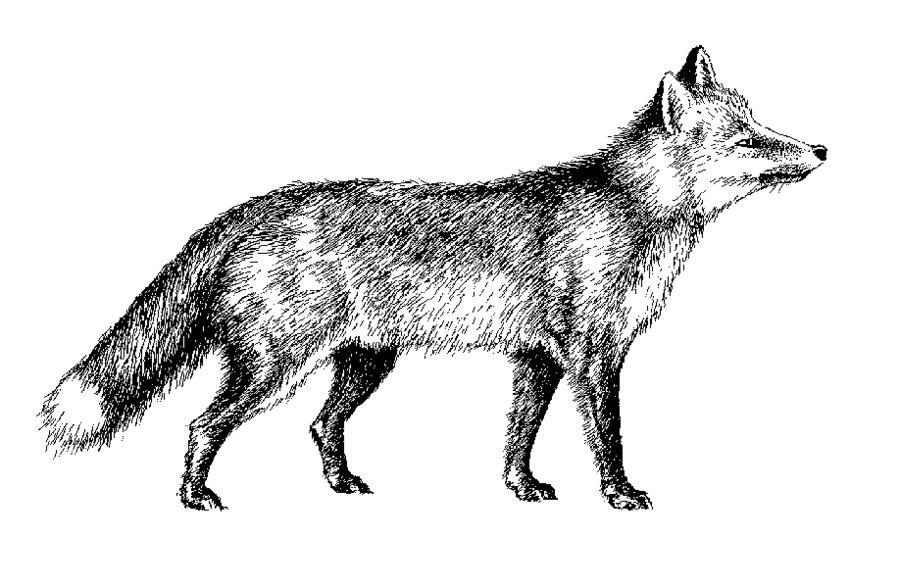 Red Fox clipart silver fox Silvermoonlight217 DeviantArt Fox by Silvermoonlight217