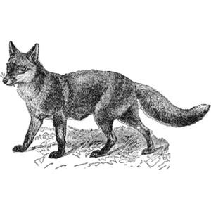 Silver Fox clipart Polyvore Fox The Fox Architect