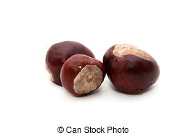 Single clipart conker Photos pictures Aesculus  Conker