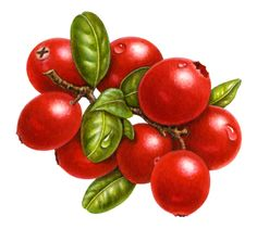 Single clipart cranberry Clip  Art Borders and