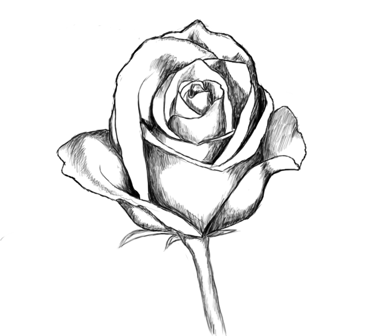 Drawn rose pretty rose Clip Art on Drawing Rose
