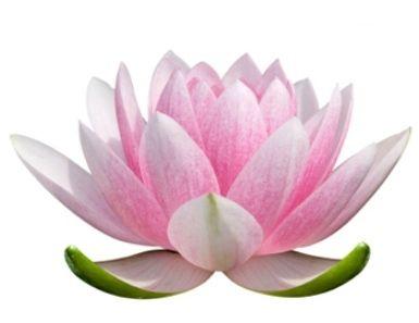 Sketch clipart lotus plant Clip drawing lotus art best