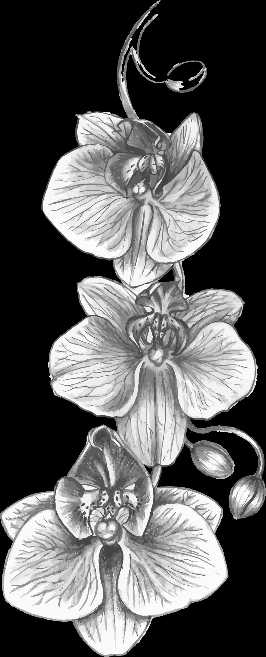 Sketch clipart orchid Orchid Orchid Sketch Clipart Sketch