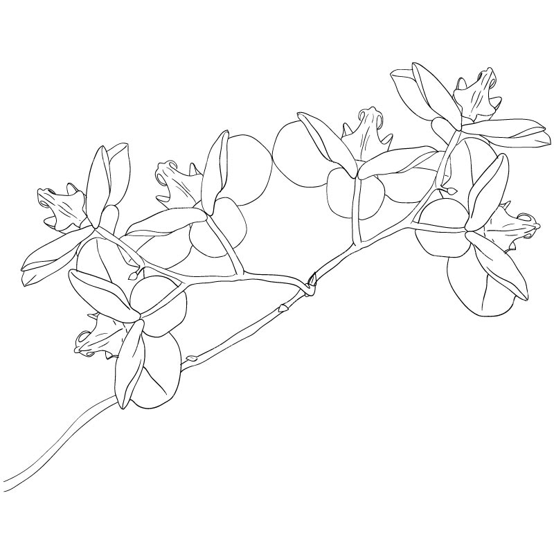 Sketch clipart orchid SKETCH Cliparts CLIPART ORCHID FLOWERS