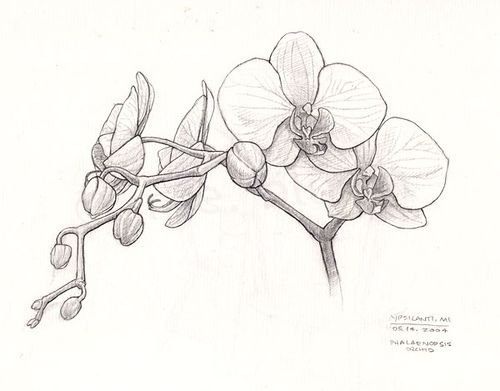 Sketch clipart orchid Flickr Pinterest Orchid images sketch