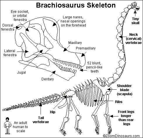 Sleleton clipart brachiosaurus Skeleton Dinosaurs ZoomDinosaurs Printout com