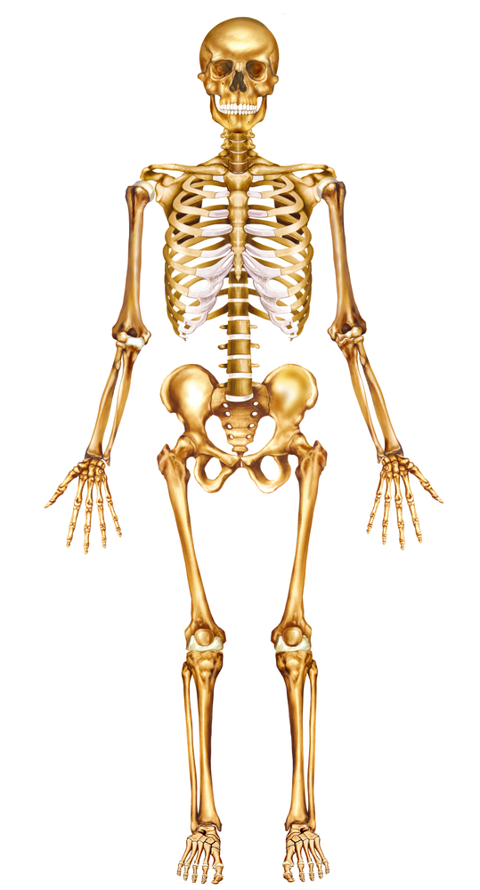 Sleleton clipart different position Position in  human anatomy