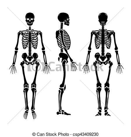 Sleleton clipart different position Human Anatomical positions skeleton in