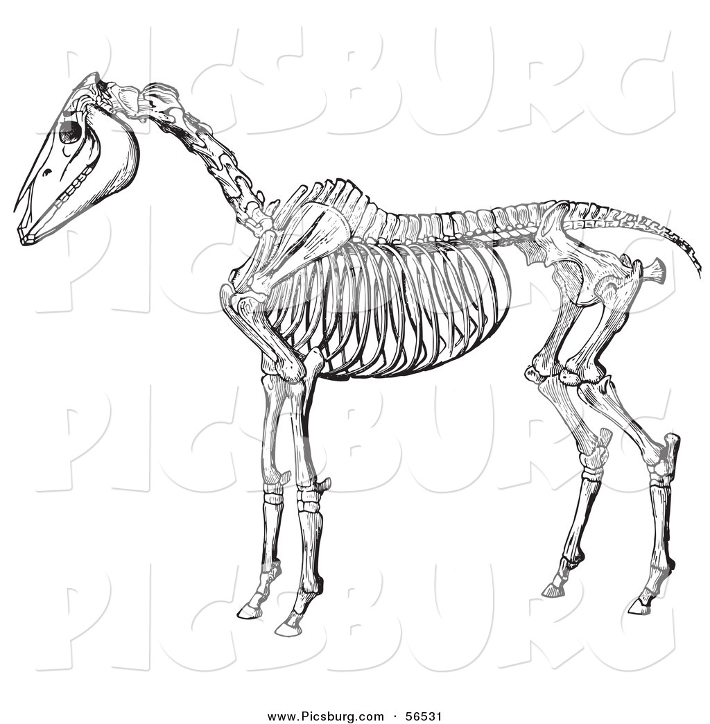 Skeleton clipart donkey Livestock Anatomy of and Fashioned