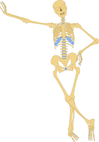 Bones clipart human biology As: Clip art clip com