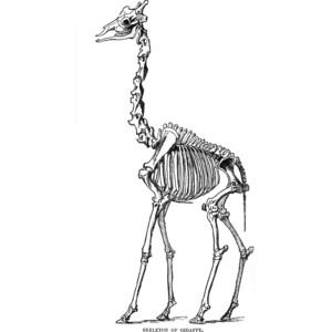 Sleleton clipart giraffe Skeleton Polyvore giraffe skeletons/skulls
