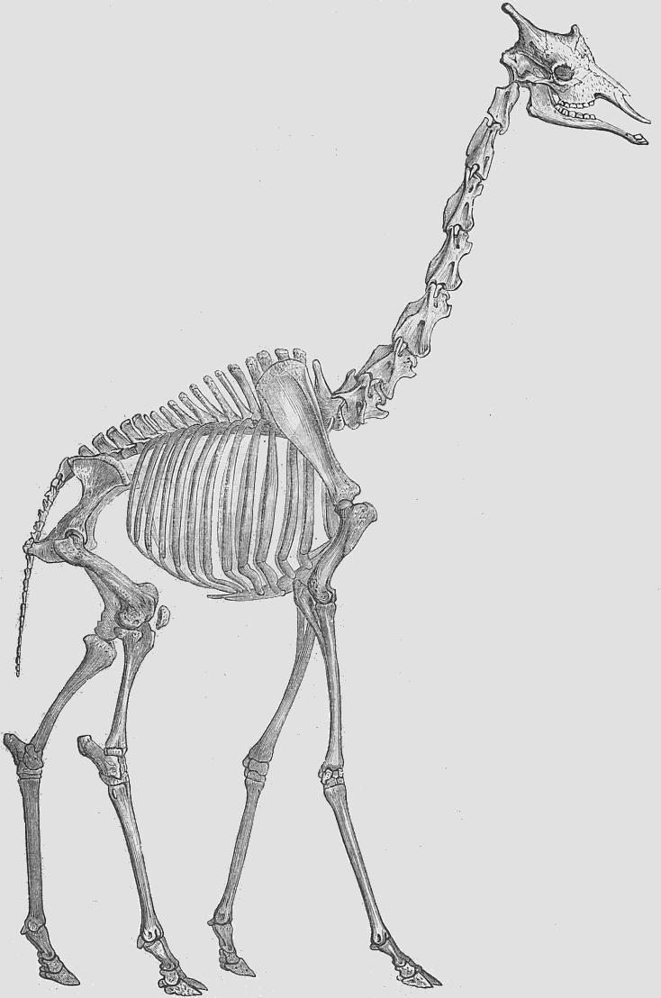 Sleleton clipart giraffe Skeletons of giraffe standing