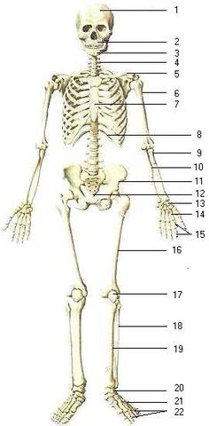 Bones clipart human biology Biology & Skeletal Info biology
