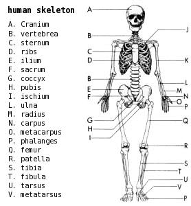 Bones clipart skelton Clip Art Skeleton Labeled Download