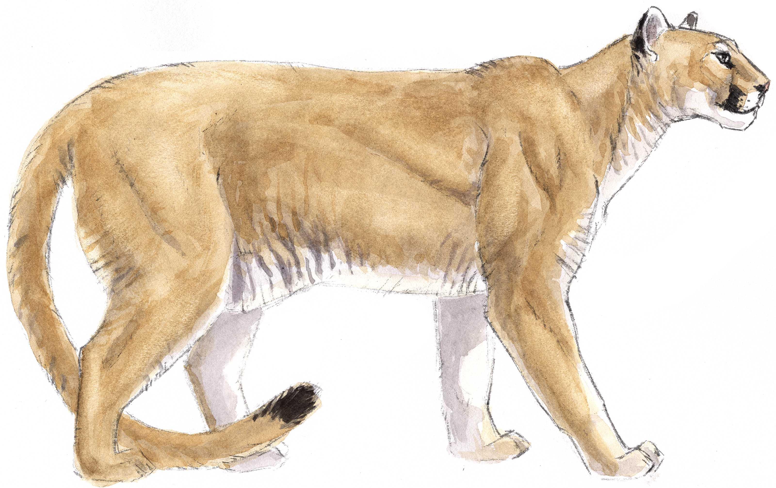 Mountain Lion clipart Lion John 21 Mountain Muir