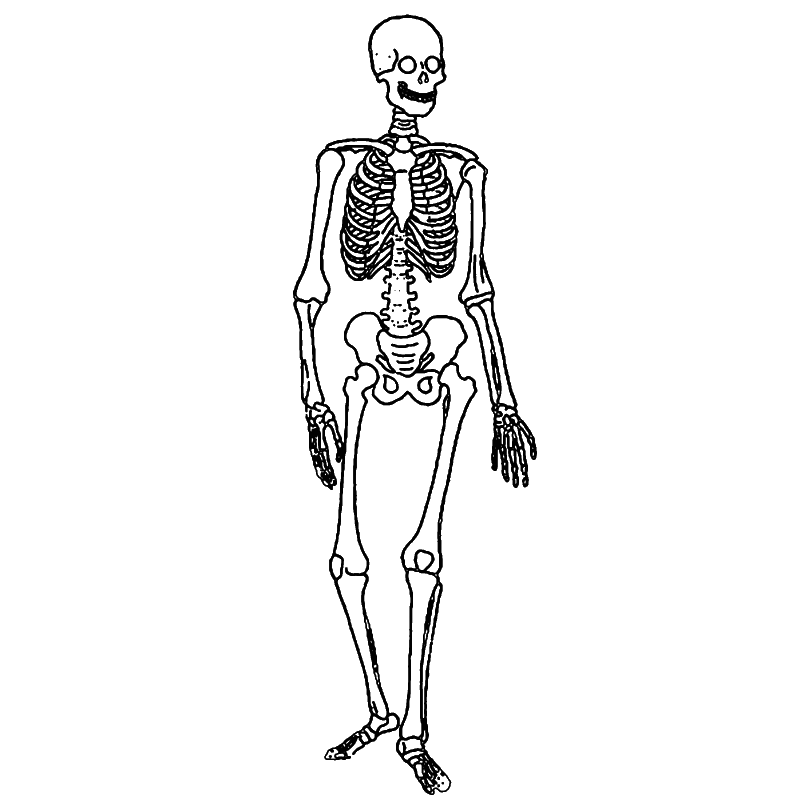 Drawn skeleton system drawing 4 labeling png for com