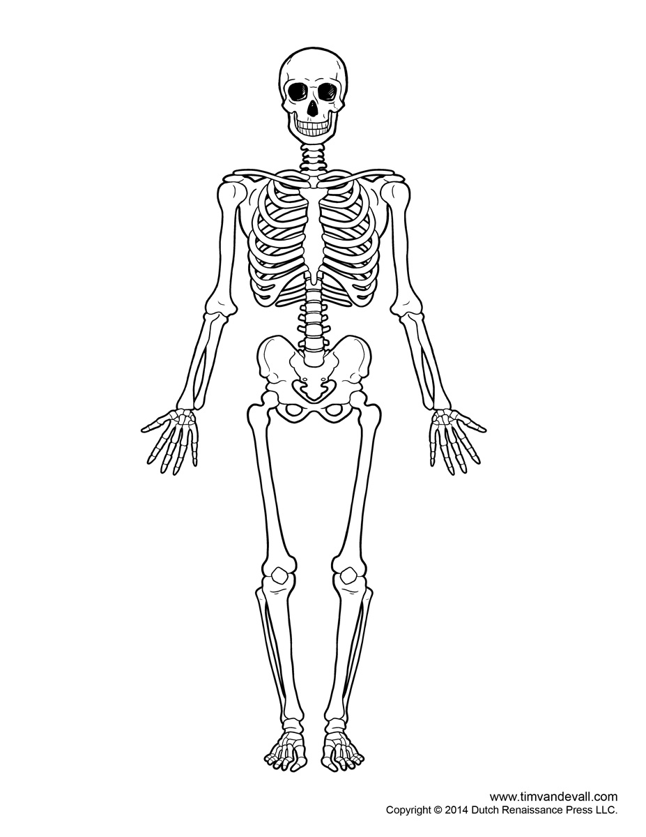 Sleleton clipart simple human Human and Unlabeled diagram Blank