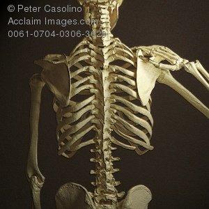 Bones clipart back bone Skeleton Human Backbone Skeleton Human
