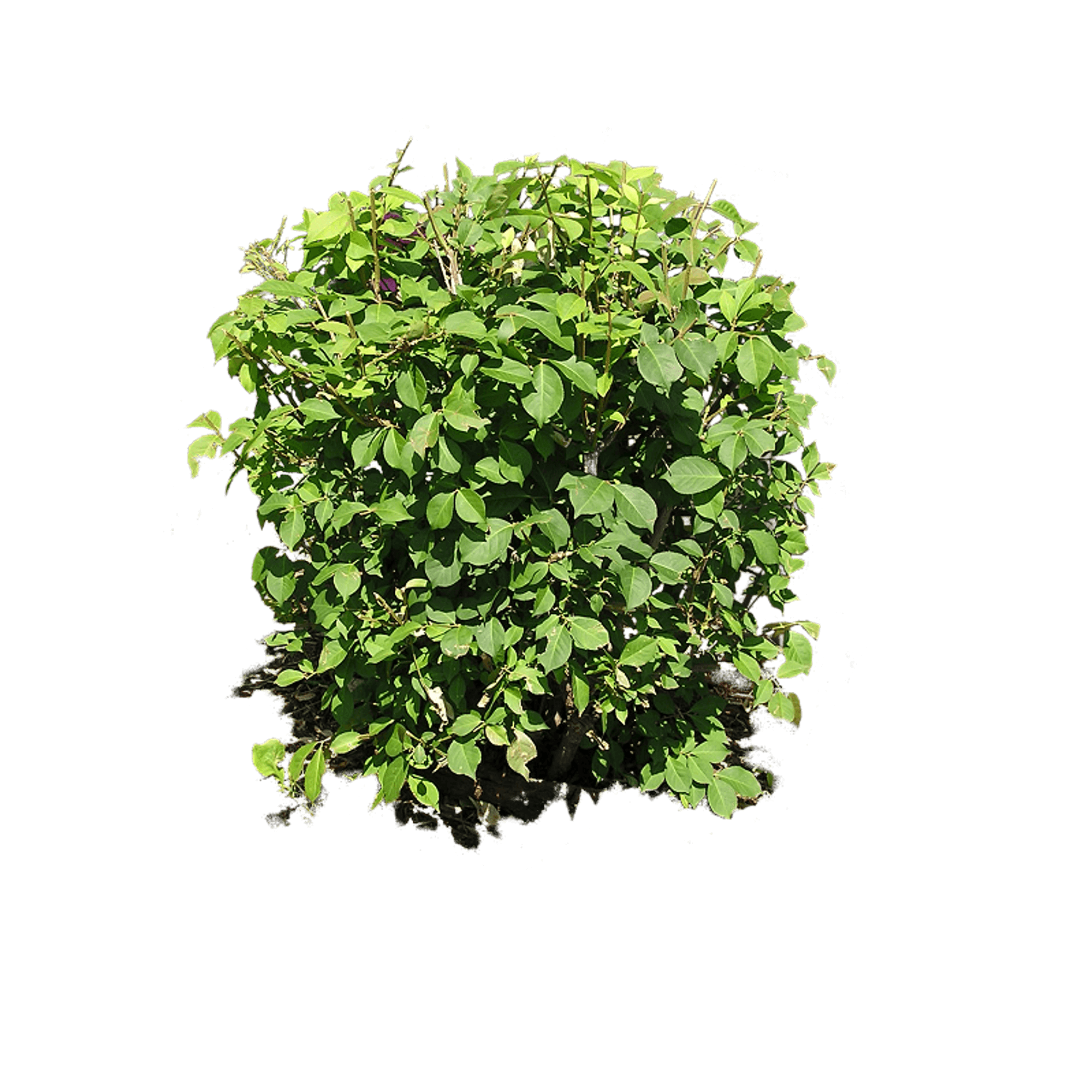 Small clipart shrub Image Plant Download Png FreePNGImg
