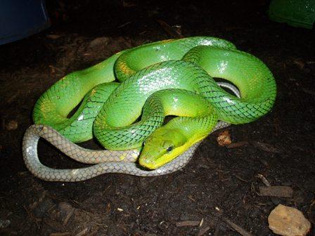 Smooth Green Snake clipart desert snake Reptile Non  Venomous Snakes