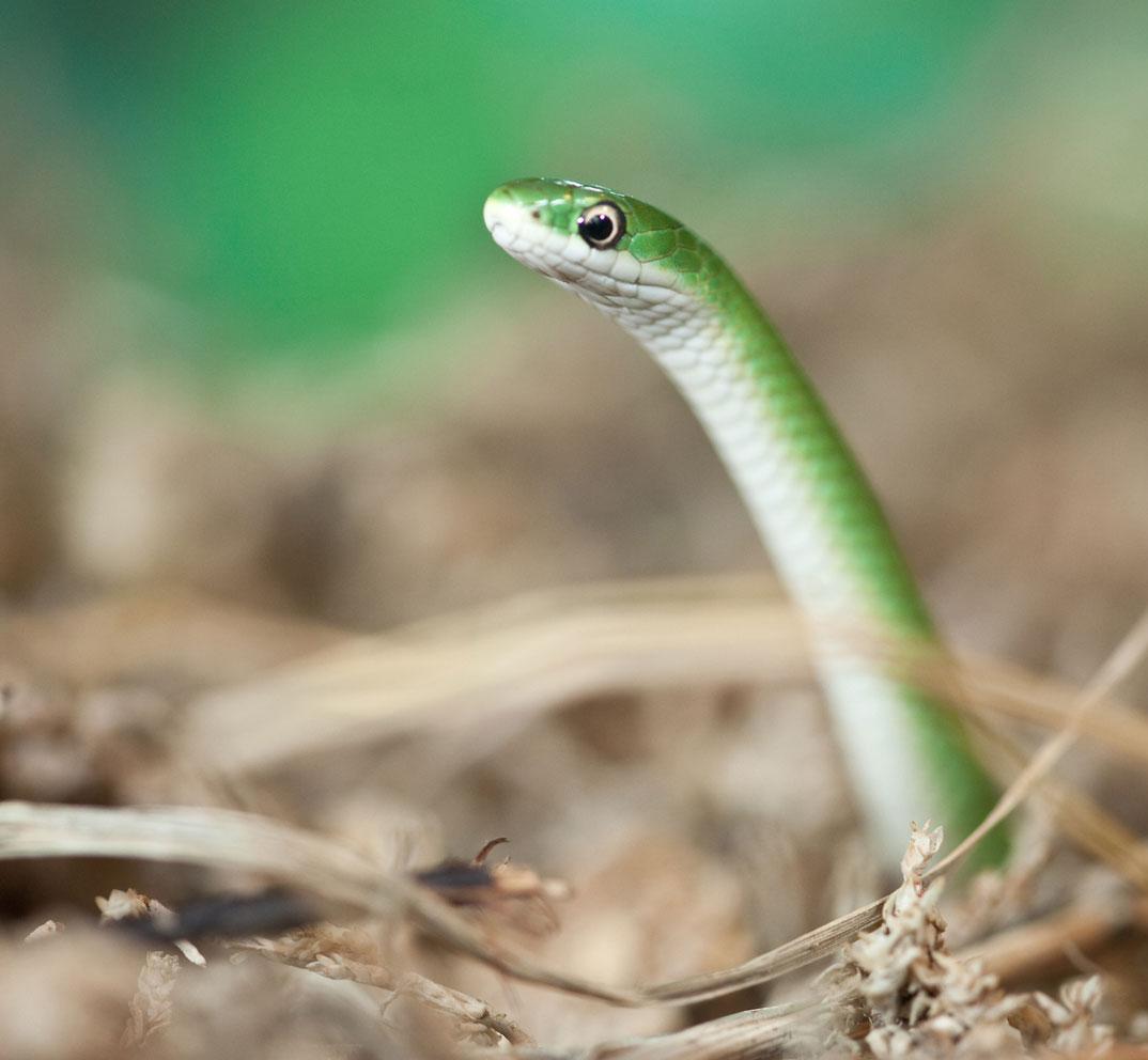 Smooth Green Snake clipart desert snake Smooth Garden Eating Baby Snak