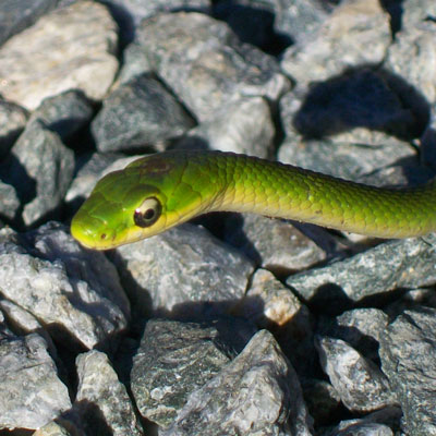 Smooth Green Snake clipart desert snake Nature Learn Colubridae Opheodrys Types