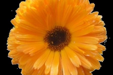 Orange Flower clipart transparent Transparent With Clipart Art Clip