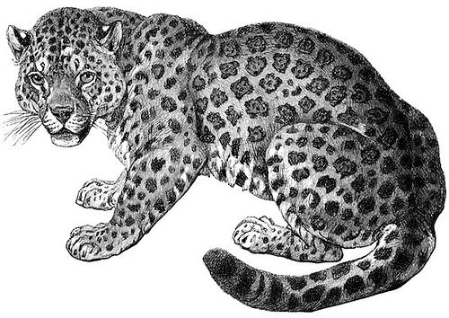 Snow Leopard clipart Clipart leopard photo#18 Leopard Clipart