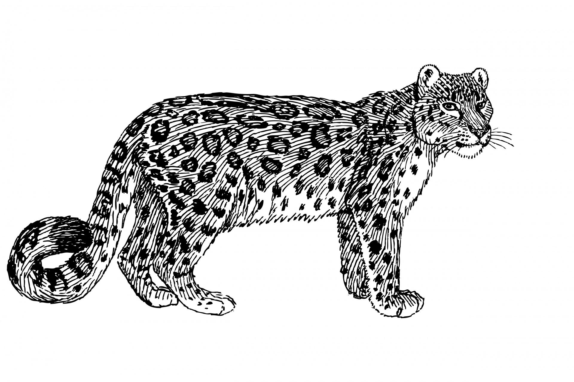Snow Leopard clipart Photo  Illustration Domain Leopard