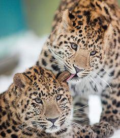 Snow Leopard clipart amur leopard Leopard Best Cute Leopard animals