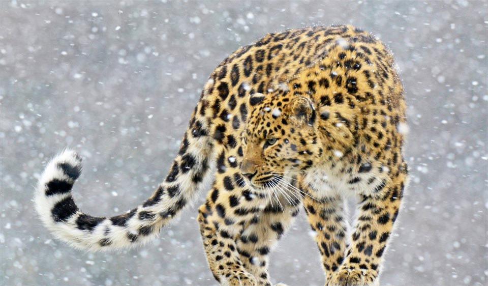 Snow Leopard clipart amur leopard Leopard Download Download Amur Amur
