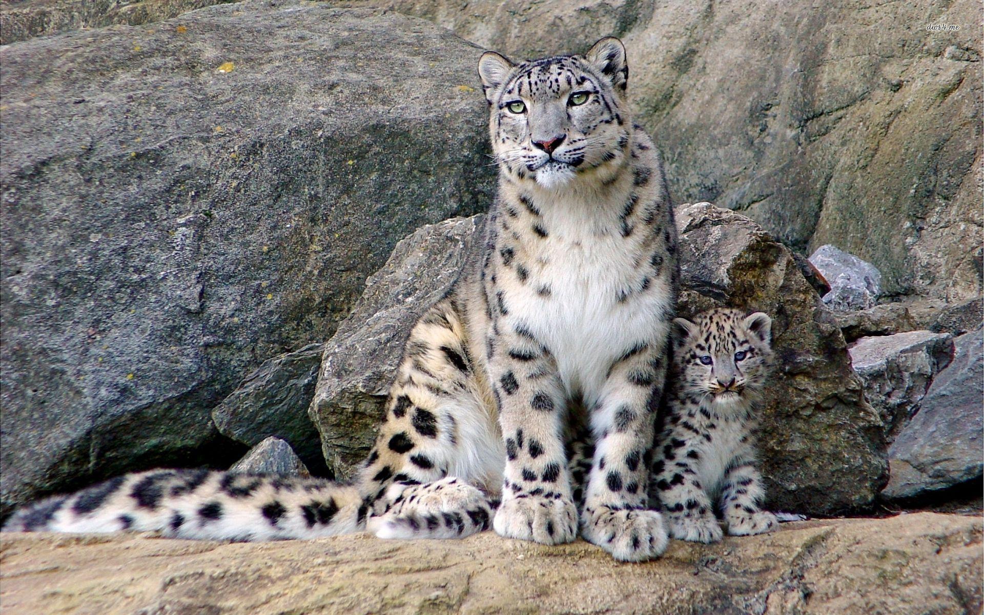 Snow Leopard clipart Snow Wallpaper 52 Animal Rainbow