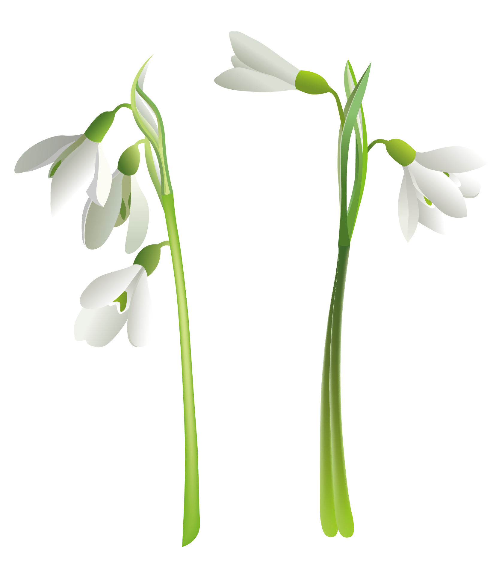 Snowdrop clipart Clipart Gallery High Snowdrops full