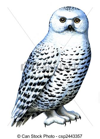 Snowy Owl clipart On Snowy Colored Bird of