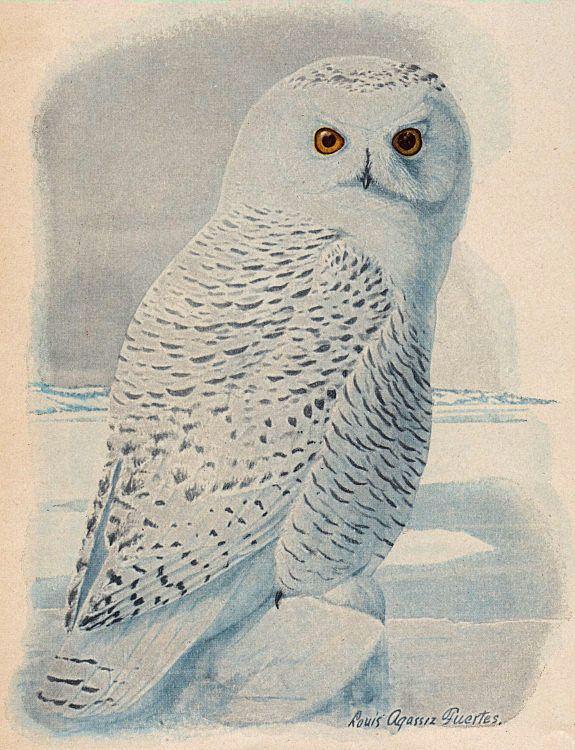 Burrowing Owl clipart snowy owl  Owl Snowy Clip Free