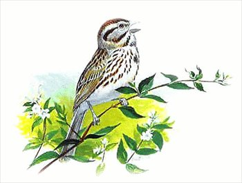 Song Sparrow clipart Free Clipart Clipart Images Sparrow