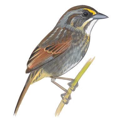Song Sparrow clipart Lincoln's Field Sparrow Seaside Sparrow