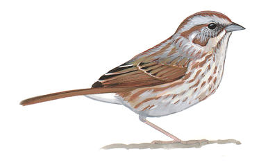Drawn sparrow detailed Sparrow clipart Sparrow Download Sparrow