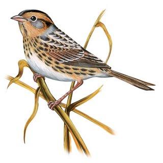 Swamp Sparrow clipart Sparrow Clipart Clipart