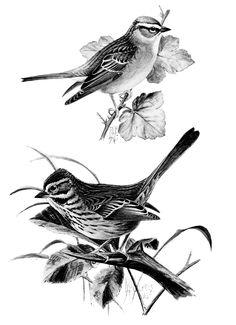 Song Sparrow clipart Clip sparrow vintage sparrow song