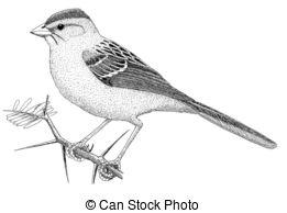 Black clipart sparrow Stock Sparrow Aimophila Rufous